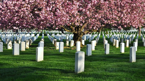 Headstones under the cherry blossoms at Arlington National Cemetery in Washington DC