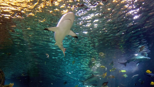 Sharks swimming in a tank at the Sea life aquarium in Dallas
