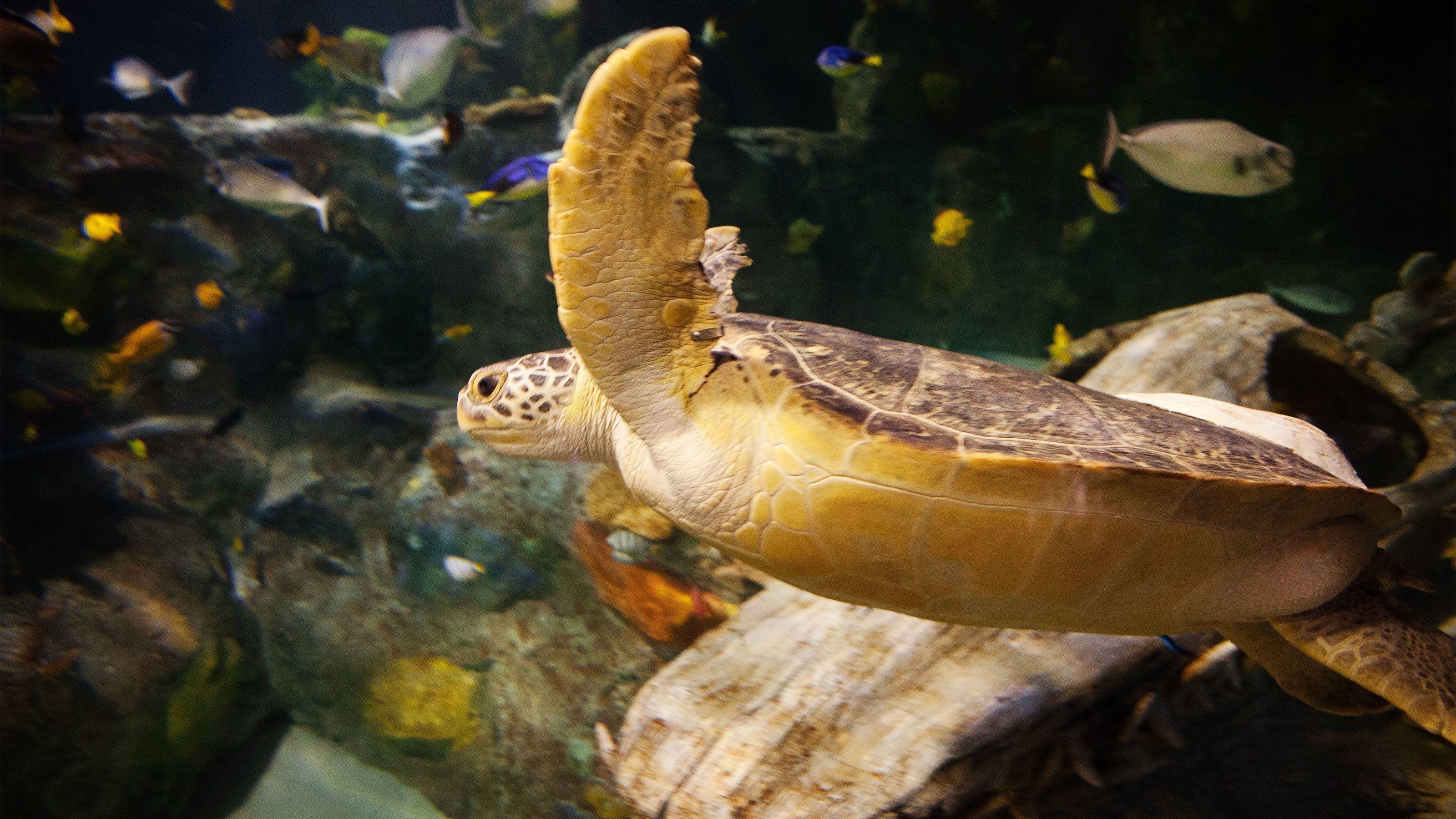 Seat turtle swimming at the aquarium in Detroit