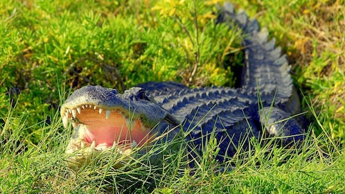 Alligator open-mouthed in the grass in Orlando.