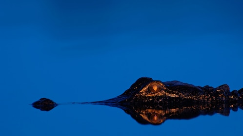 Alligator partially submerged in water at night in Orlando.