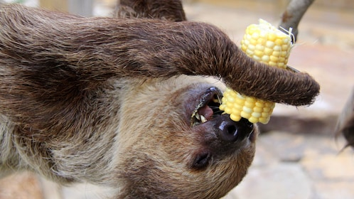 Sloth eating corn on the cob at Wild Florida in Orlando.