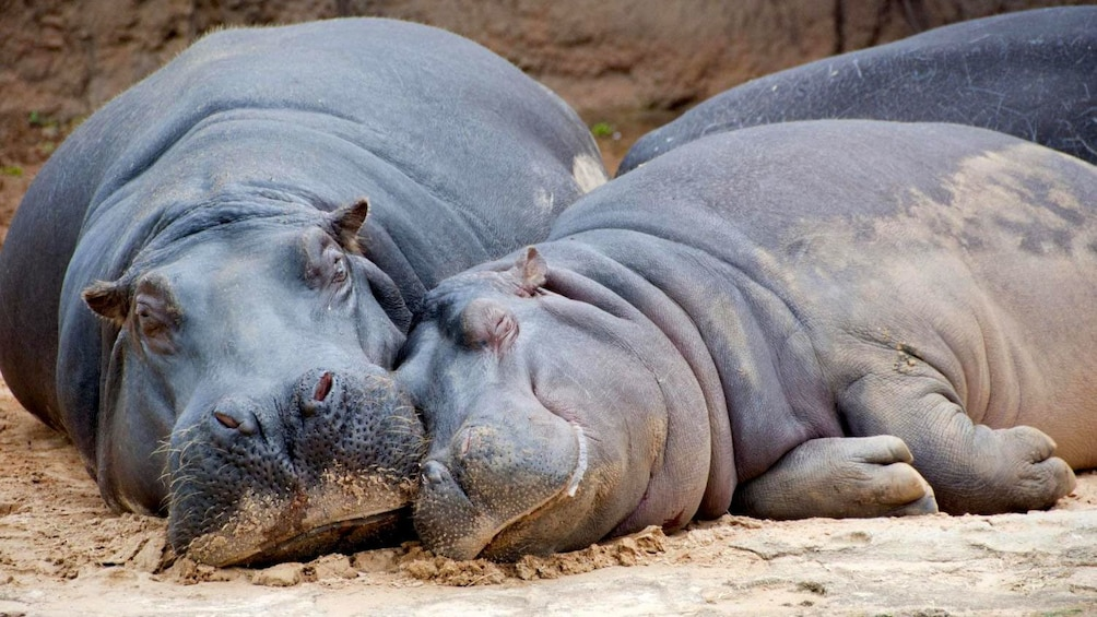 Cargar ítem 4 de 5. Two hippopotamuses cuddling next to each other at the Temaikèn Zoo in Buenos Aires