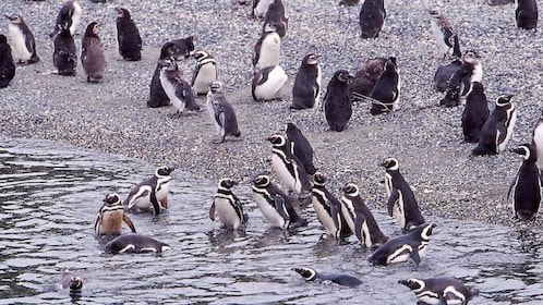 Penguins play in the waters on the coast of Beagle Channel