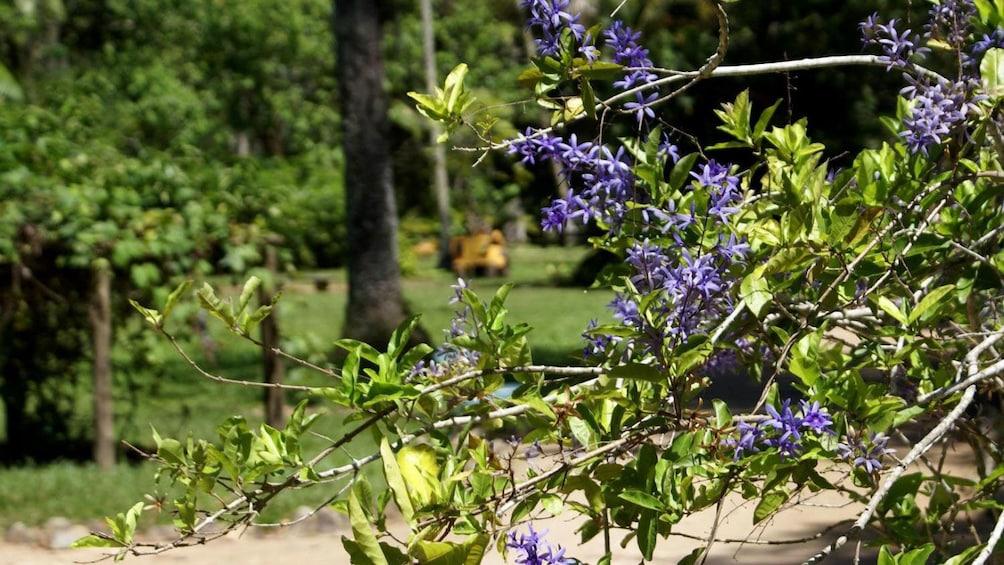 Purple flowering tree at the Botanical Garden in Rio de Janeiro