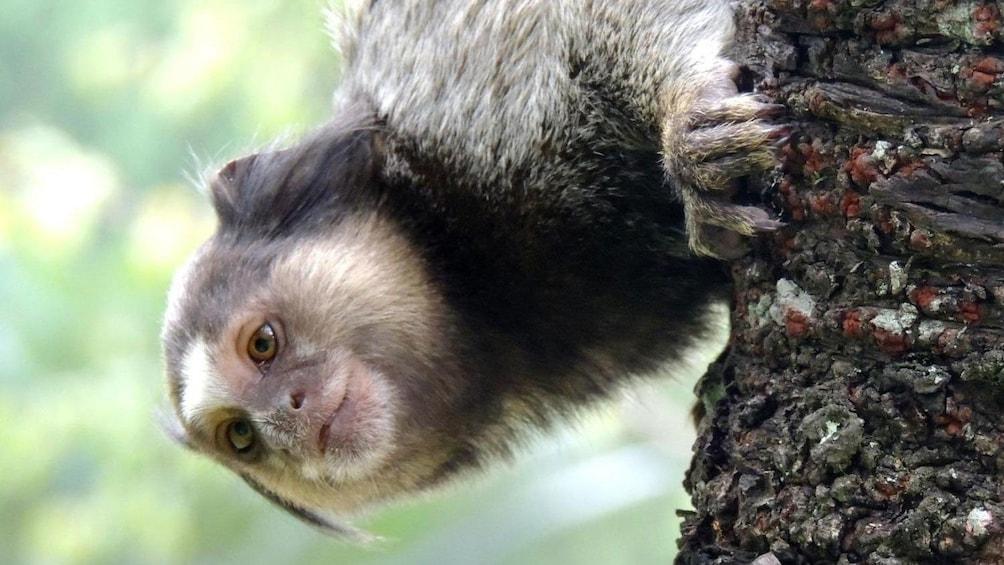 Marmoset monkey in a tree at the Botanical Garden in Rio de Janeiro