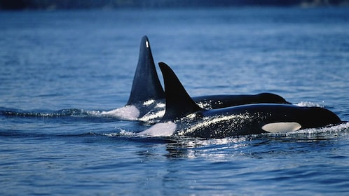 A pair of orcas swimming in Vancouver