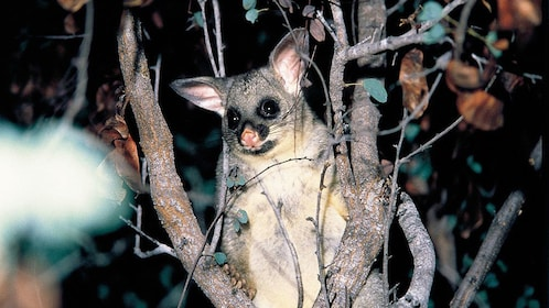 Australian possum on the Gold Coast Glow Worm Night Tour