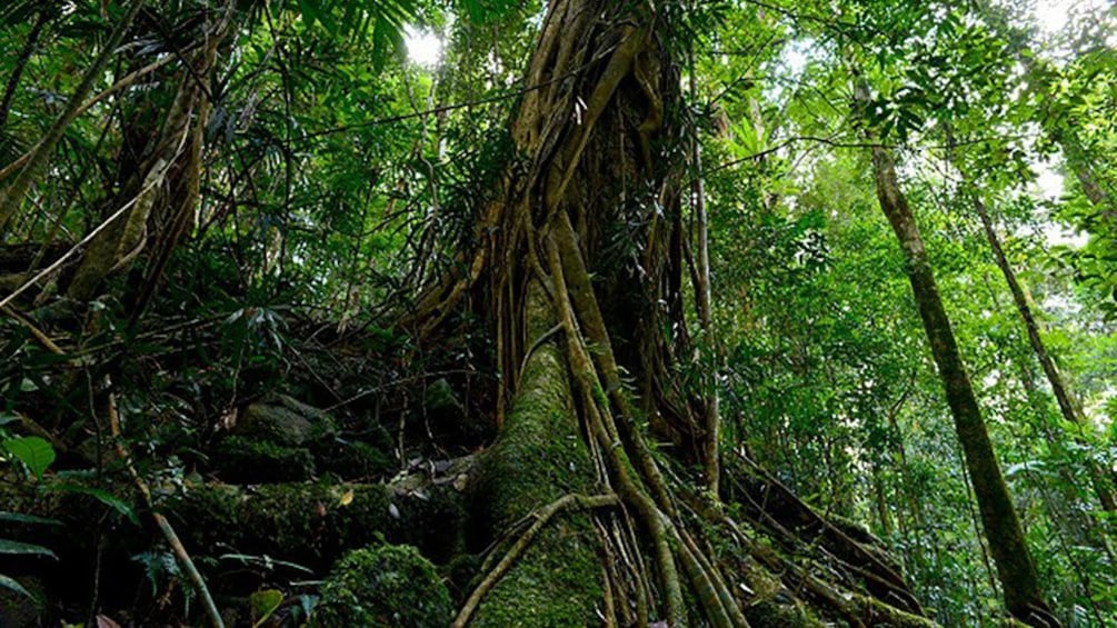 Old tree roots in forest in Gold Coast