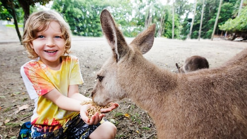 friendly kangaroo eating pellets from small girls hands in Cairns