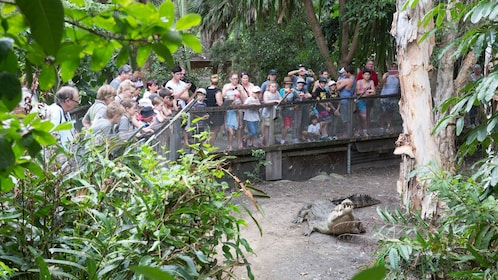 large group of tourist watch large crocodile in Cairns