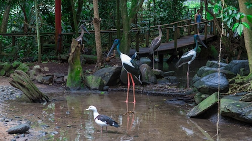 exotic long legged cranes treading water in Cairns