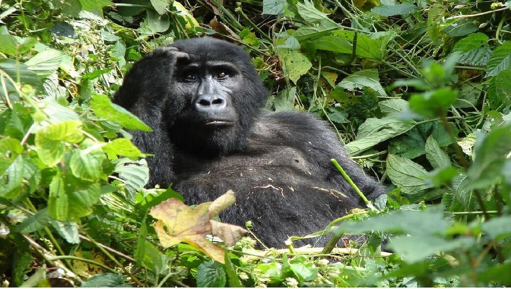 Show item 2 of 8. Gorillas Of Bwindi & Fauna Of Queen Elizabeth National Park