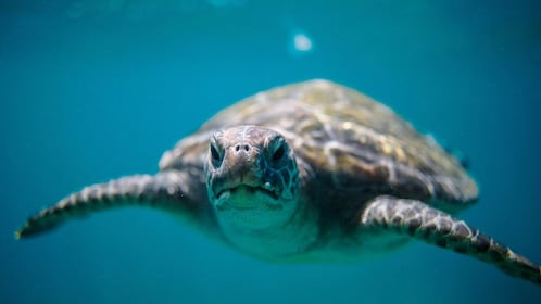Sea turtle on the Sea Turtle Snorkeling Tour in Byron Bay in Australia