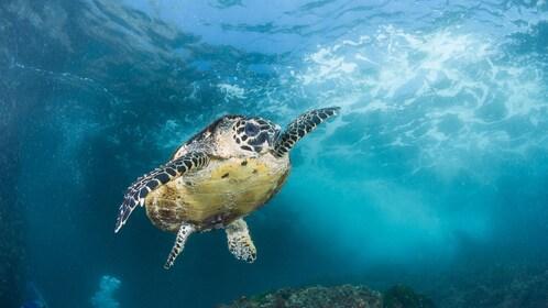 Sea turtle swimming on the Sea Turtle Snorkeling Tour in Byron Bay in Australia