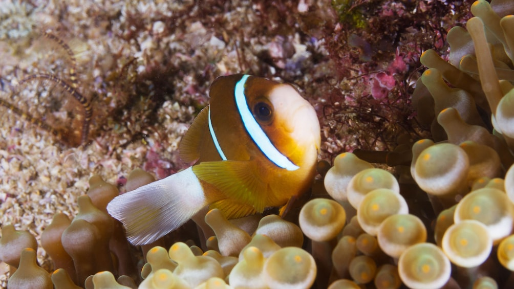 Show item 2 of 6. Clown fish from the Introductory Scuba Diving Tour in Byron Bay in Australia