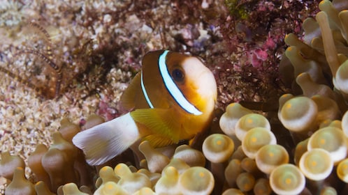 Clown fish from the Introductory Scuba Diving Tour in Byron Bay in Australia
