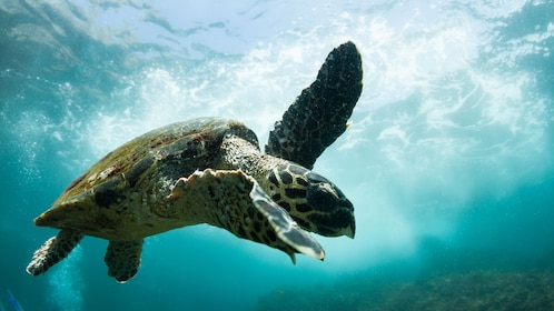 Sea turtle seen on the Introductory Scuba Diving Tour in Byron Bay in Australia