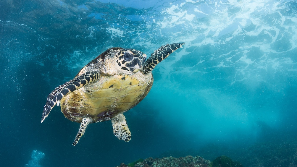 Show item 6 of 6. Sea turtle seen on the Introductory Scuba Diving Tour in Australia