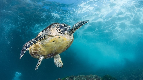 Sea turtle seen on the Introductory Scuba Diving Tour in Australia