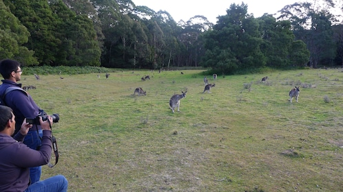 tourists photographing kangaroos in Blue Mountains