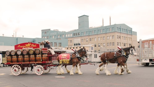 Clydesdale horses pull wagon with barrels by brewery in Melbourne