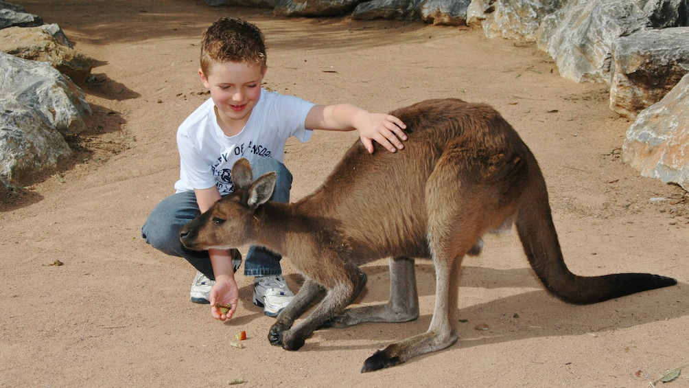 Ver elemento 3 de 5. young boy pets kangaroo at National Zoo & Aquarium in Canberra