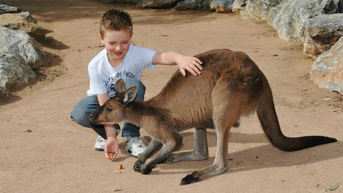 young boy pets kangaroo at National Zoo & Aquarium in Canberra