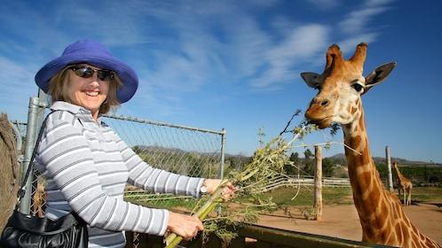 woman feeds giraffe at National Zoo & Aquarium in Canberra