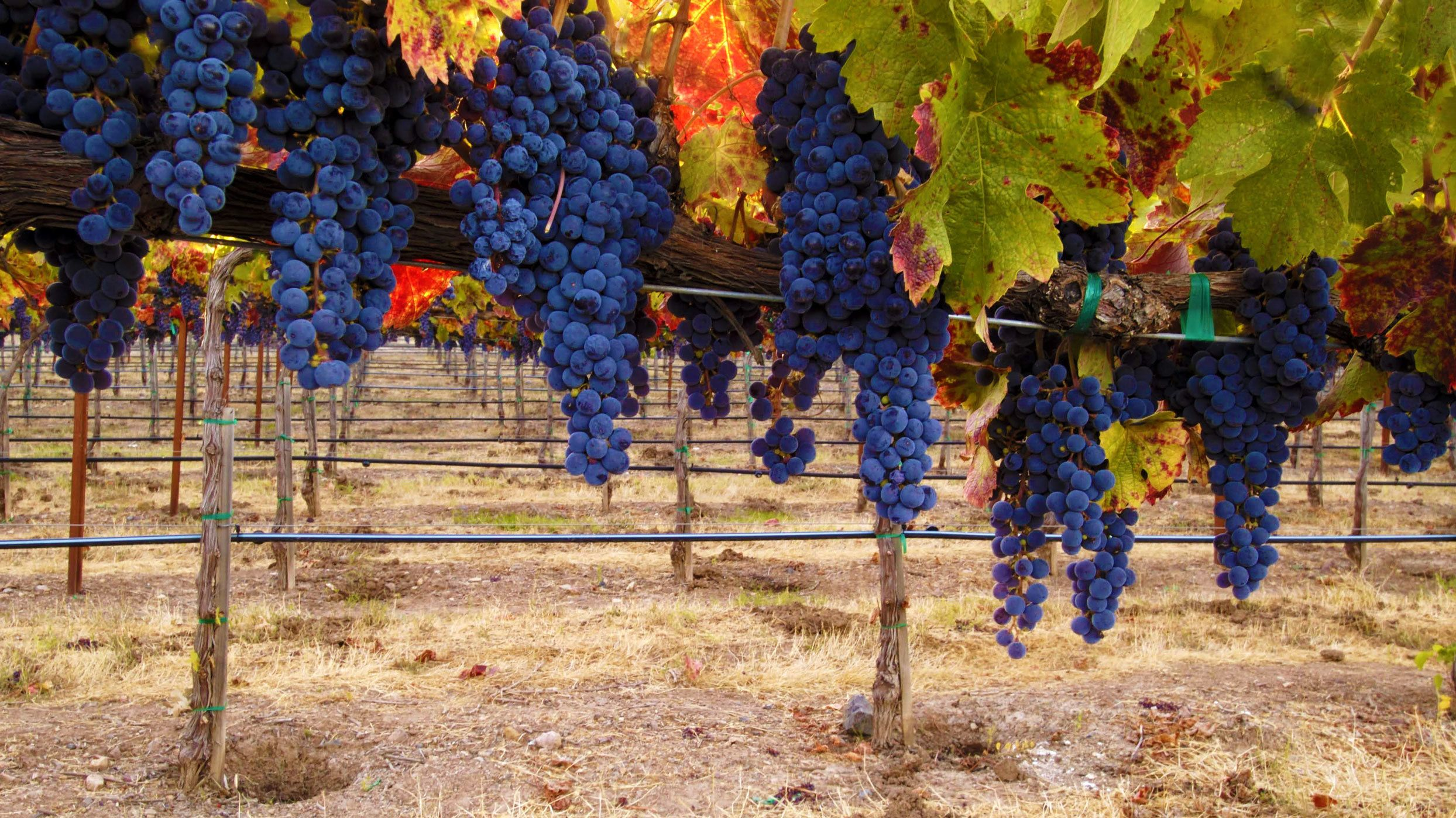 Dark purple grape on the Hunter Valley Wine and Cheese Tour in Australia