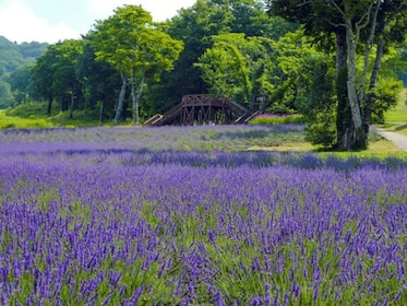 Discover The Largest Lavender Field in Kanto