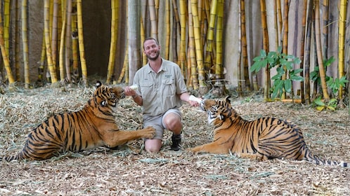 Man feeding tigers at Australia Zoo