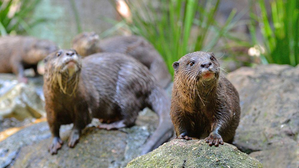 Otters at Australia Zoo
