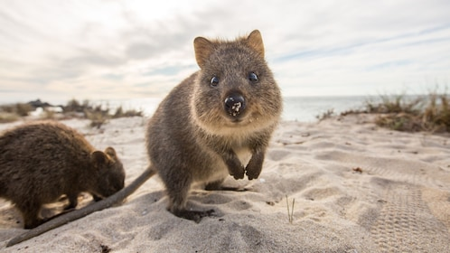 Close up of quokka in sand in Perth