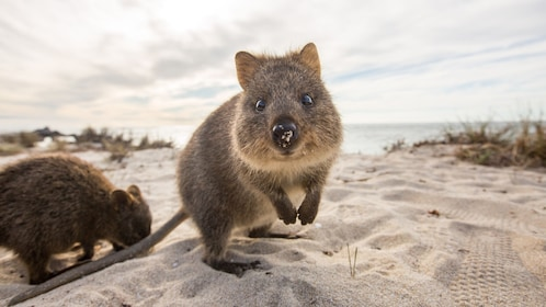 close up of quokka on sand dune in Perth