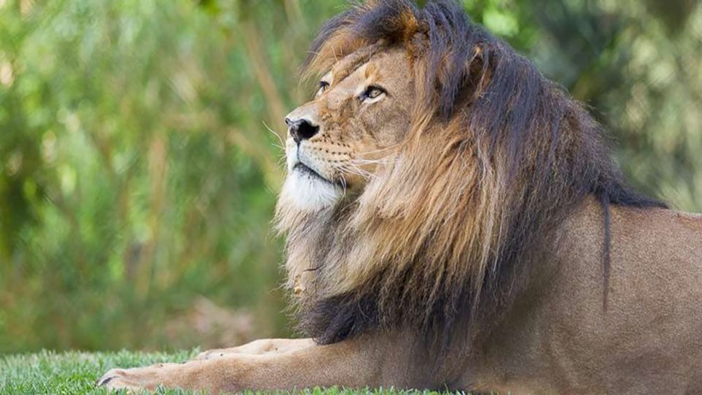 Show item 2 of 8. adult male Lion at Adelaide Zoo
