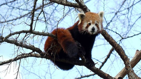 Red Panda on tree branch at Adelaide Zoo