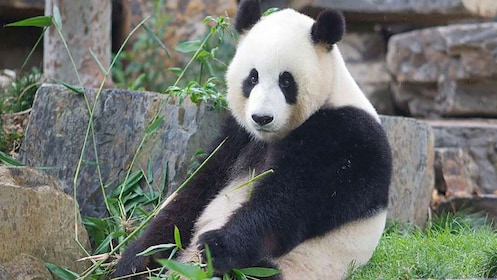Giant Panda at Adelaide Zoo