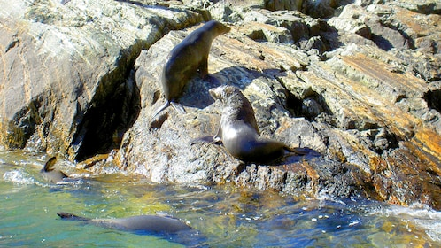 Fur seal on rock in Milford Sound New Zealand.