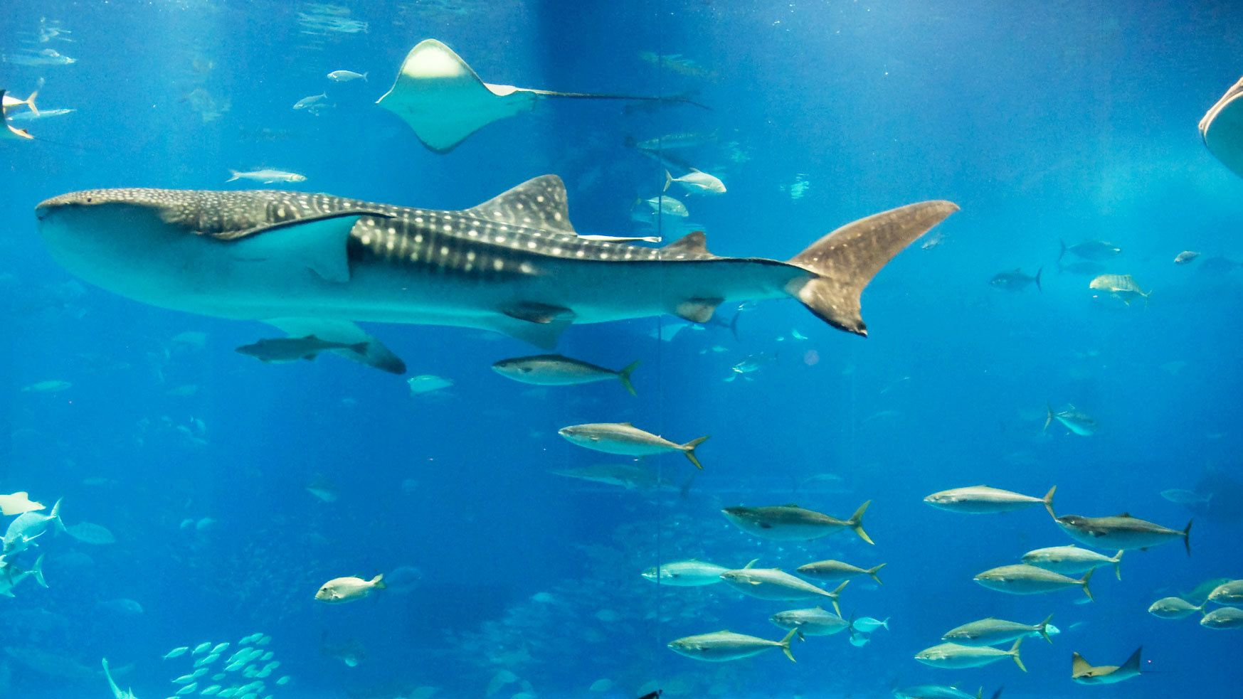 whale shark swims with school of fish in Coral Coast