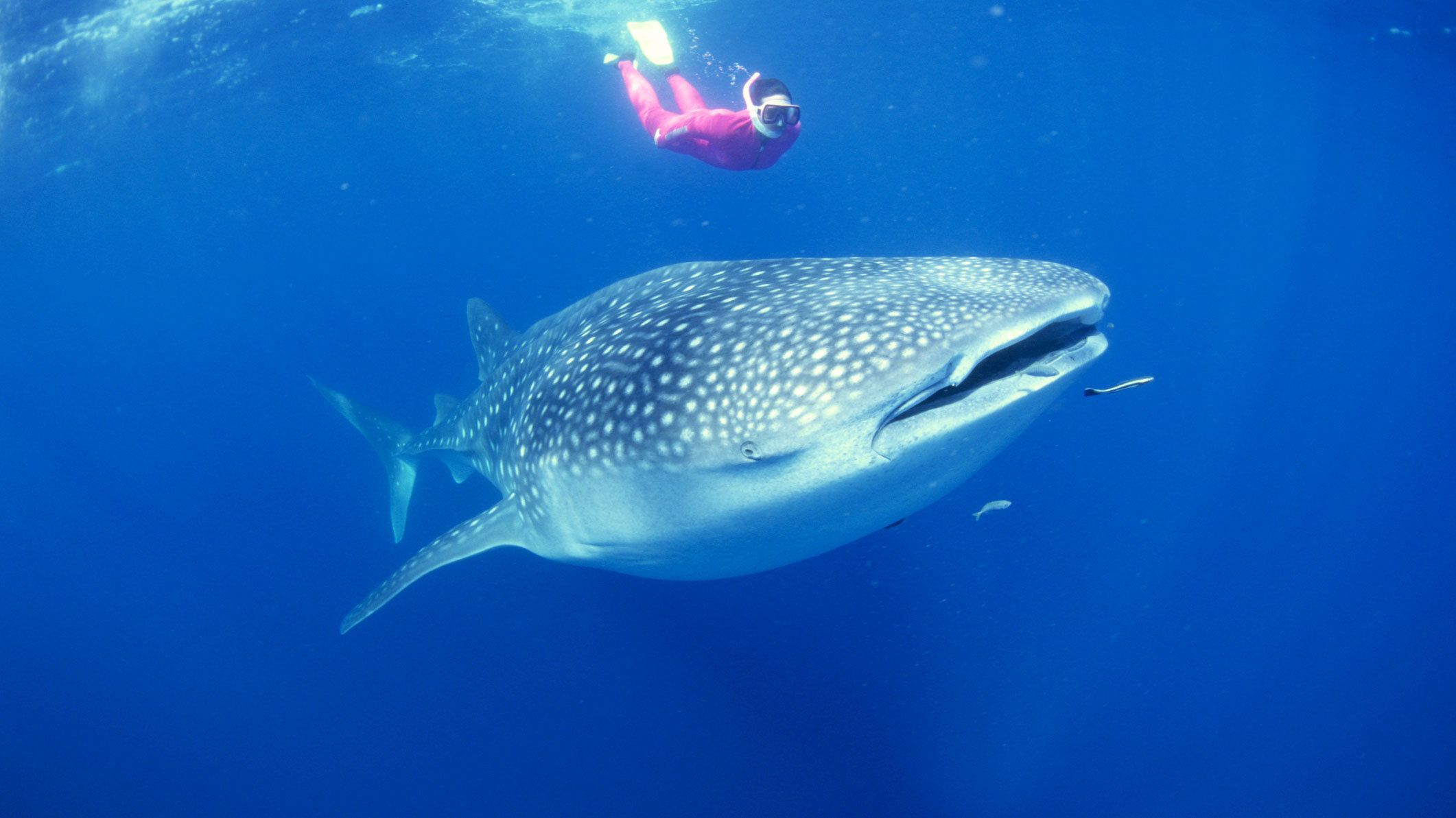 woman with snorkeling gear swims above whale shark in Coral Coast