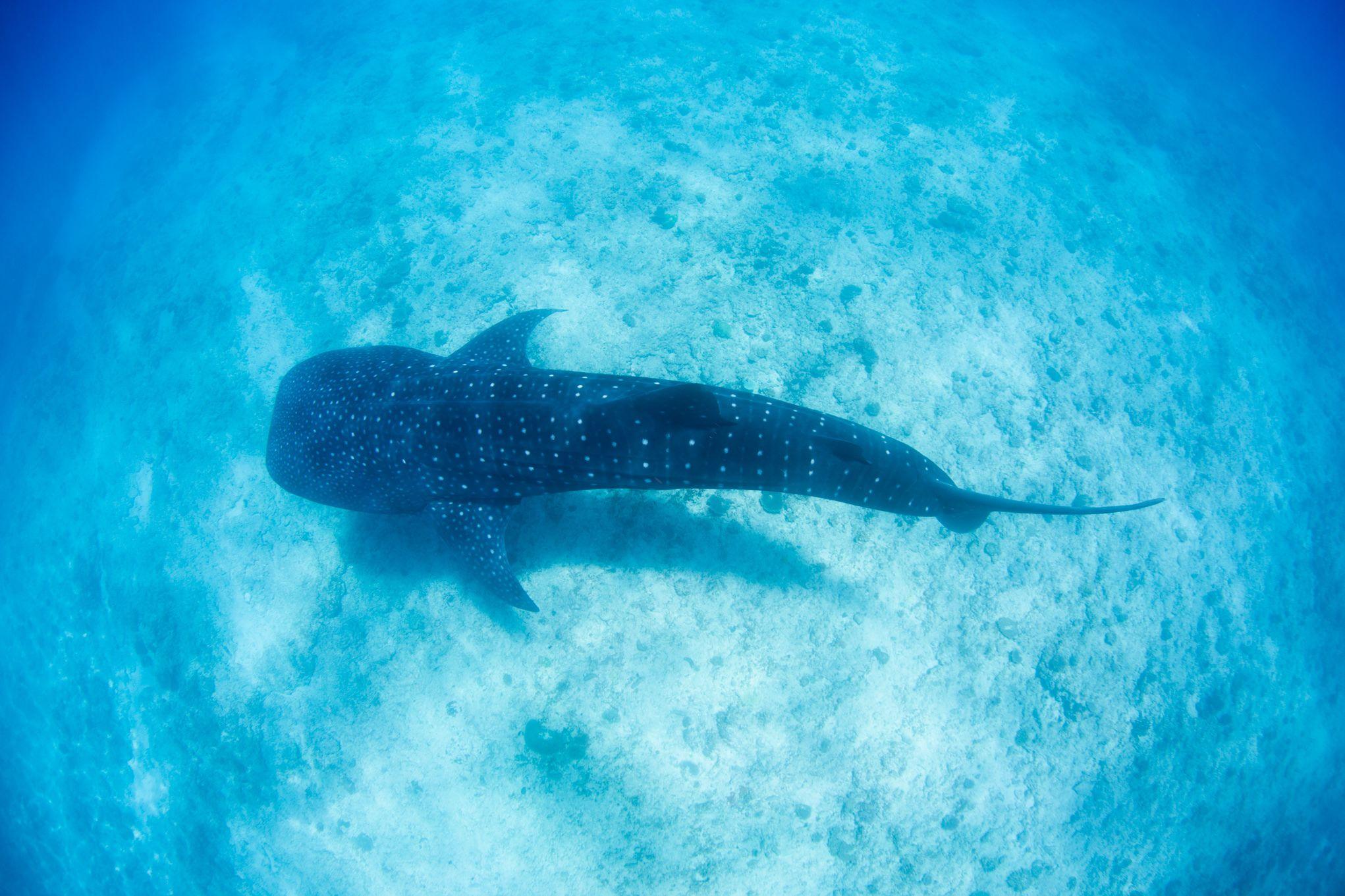 whale shark tourOctober 17, 2018-Blue Media Exmouth-94.jpg