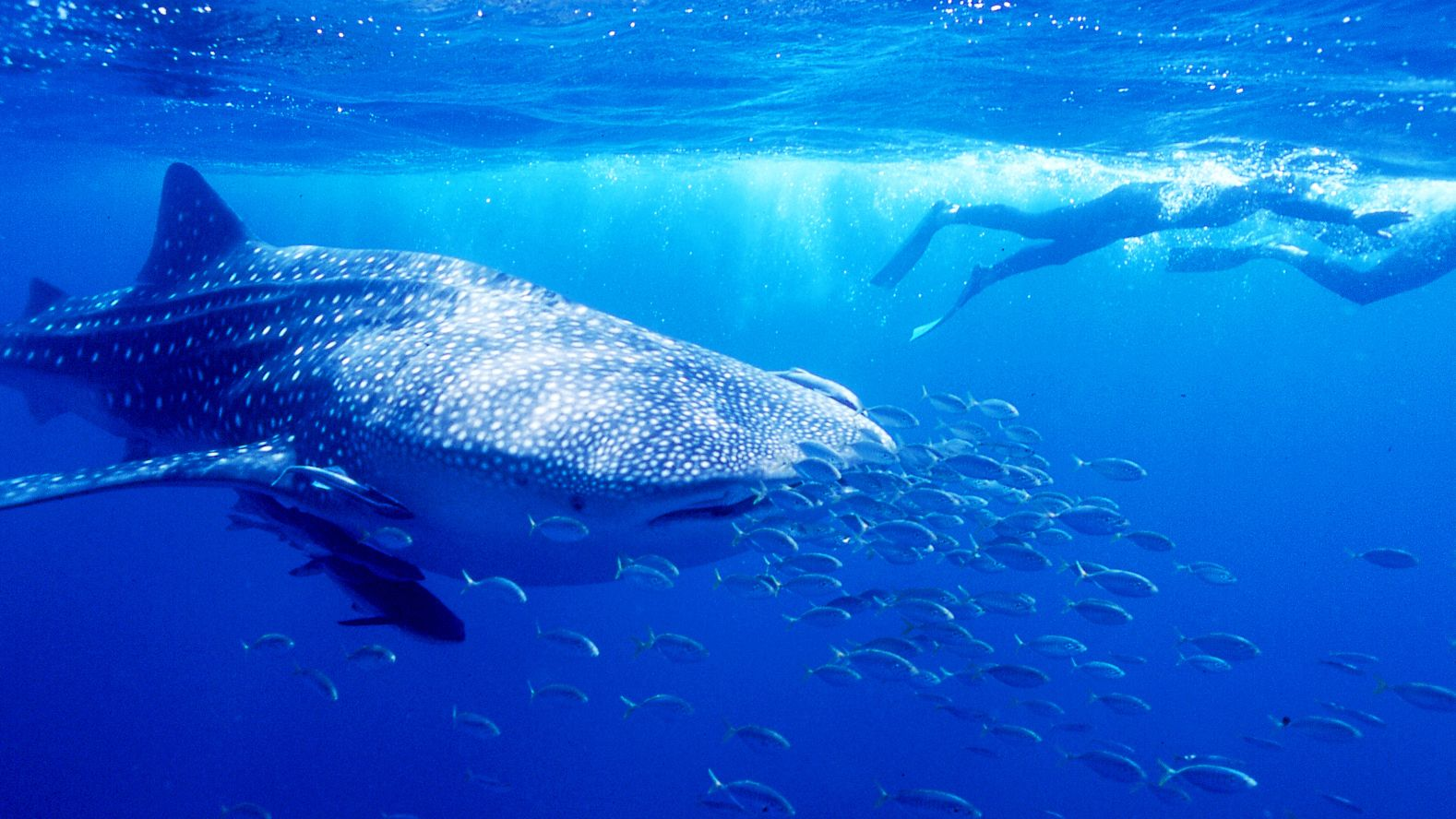 Whale shark with scuba divers and school of fish in Exmouth Swim in Australia.