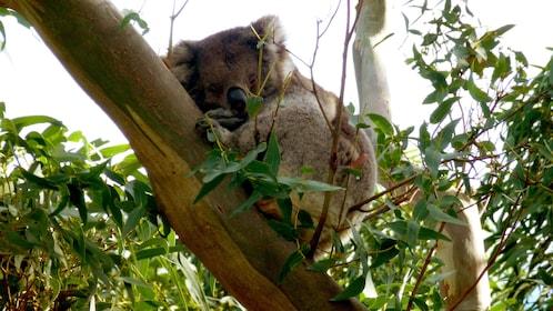 Koala sleeping in tree in the Great Ocean Road sunset tour in Victoria Australia.