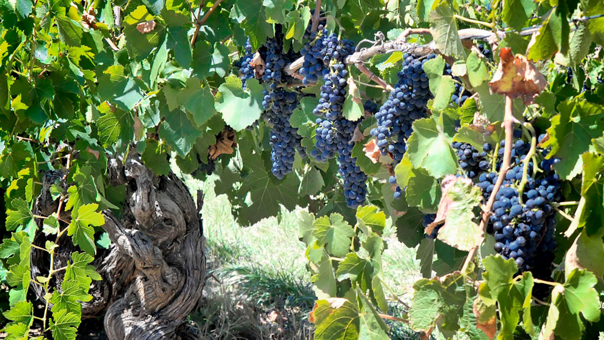 Grapes on vine in Northern Barossa Valley in Australia.