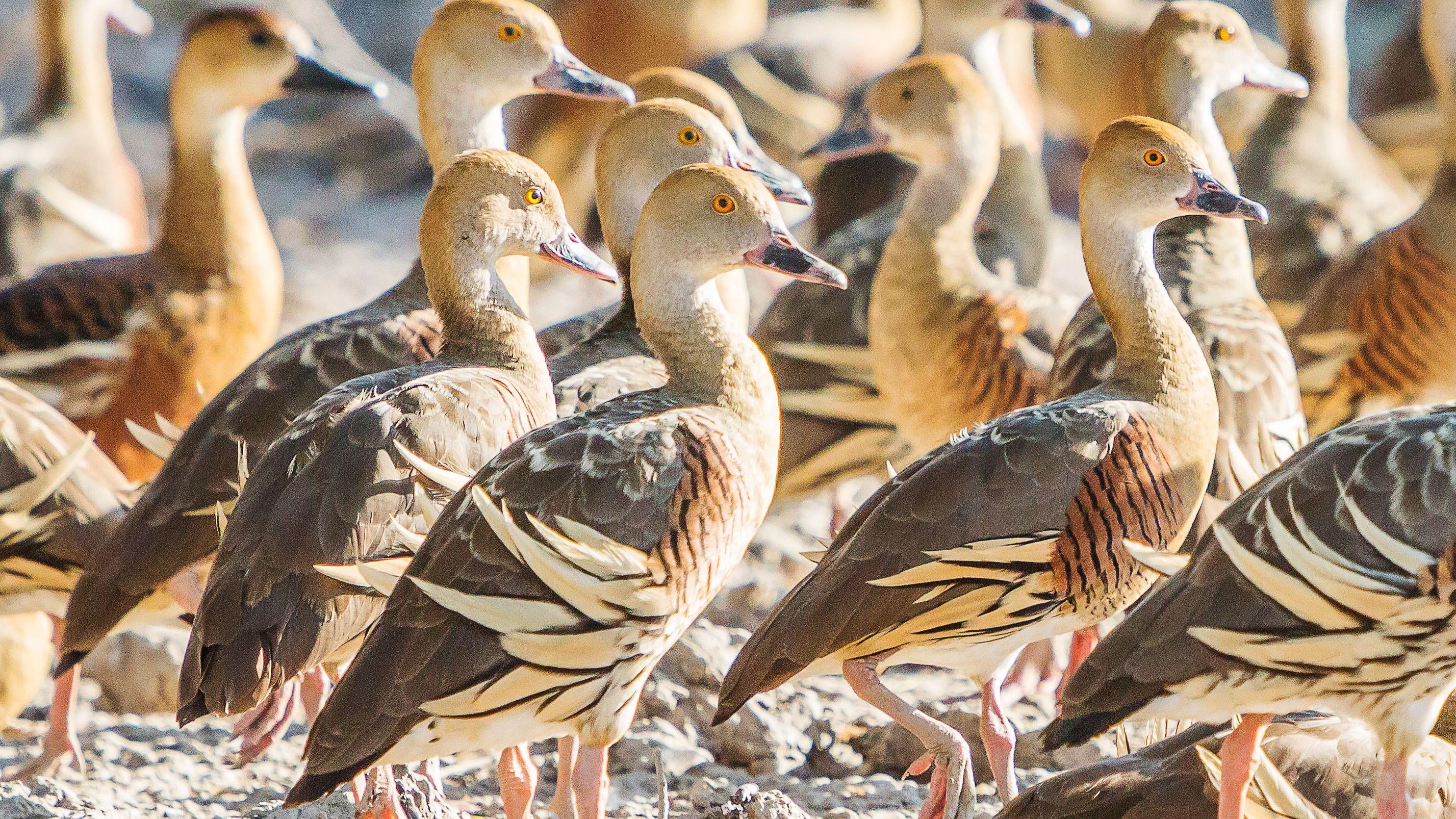 flock of Plumed Whistling-Ducks in Darwin