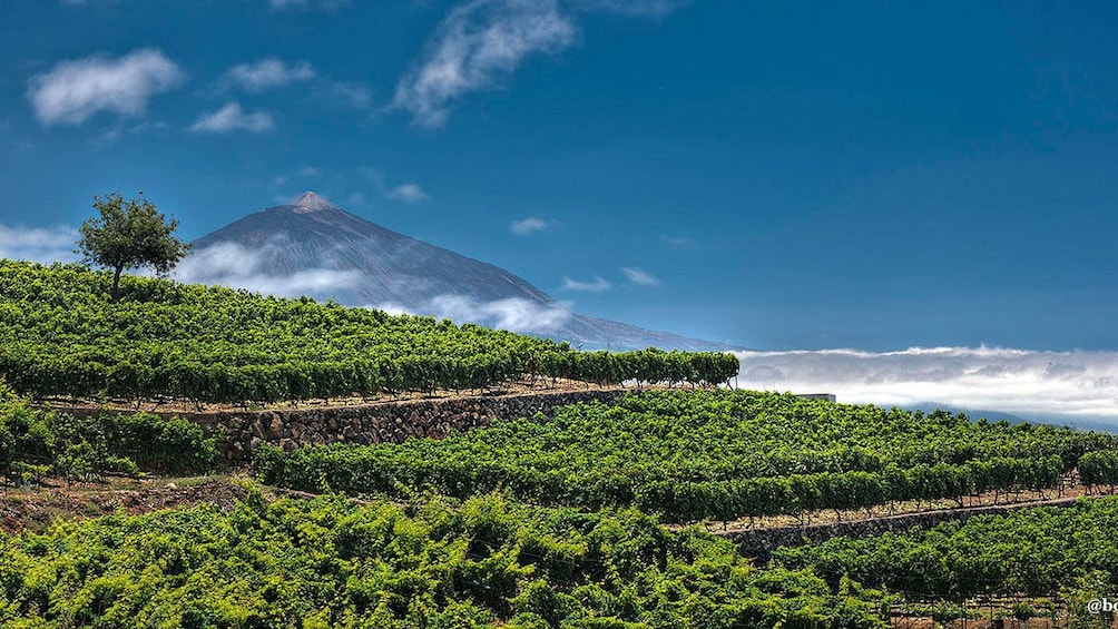 A vineyard with a view of a volcano in Tenerife
