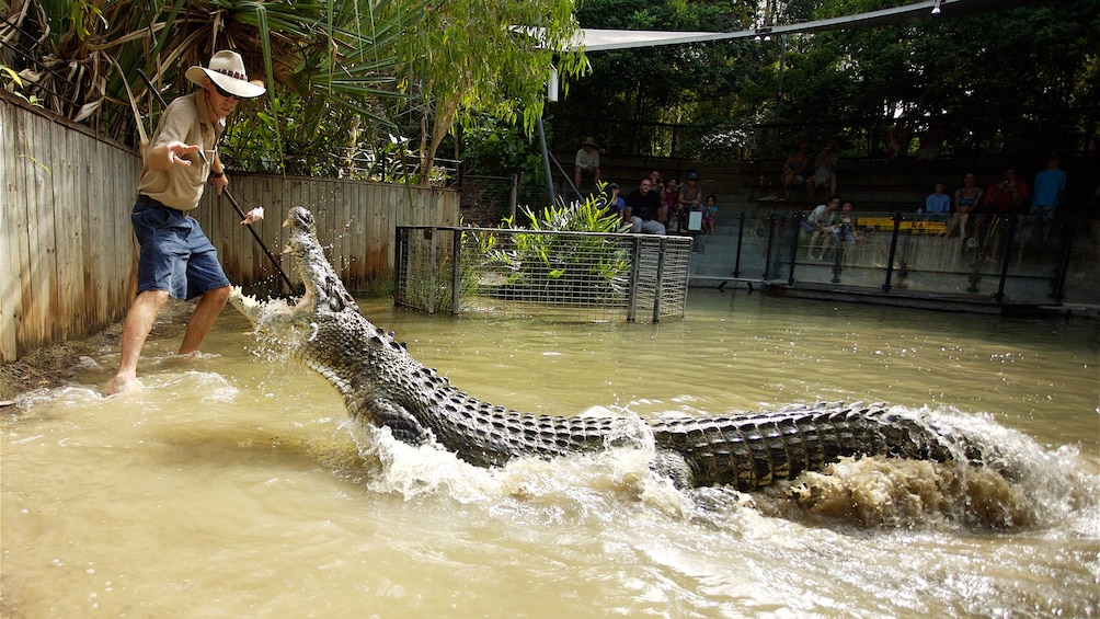 Show item 1 of 5. crocodile leaping at food being dropped by handler in Cairns
