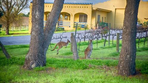 Kagaroos in vineyard at McLaren Vale Winey in Australia.