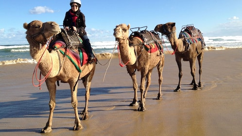 man on camel leads two other camels behind him on beach in Newcastle